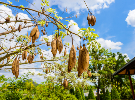 the fresh pods bombax hanging on prickly tree, bombax ceiba, kapok pods, bombax cambodiens robyns.