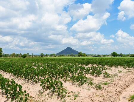 tree farming: Cassava plantation farming , growing of Cassava, row of cassava tree in field and mountains background