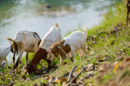 baby goat: Goats eating grass in nature