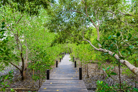 Nature learning path, made from wooden, and walk through Ceriops tagal forest in mangrove forest. Nature Preserve and Forest Klaeng at Prasae, Rayong province, Thailand Stock Photo