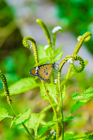 Butterflies are eating honeydew From pollen in nature Stock Photo