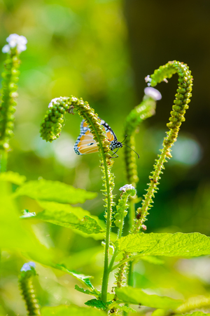 Butterflies are eating honeydew From pollen in nature Stockfoto