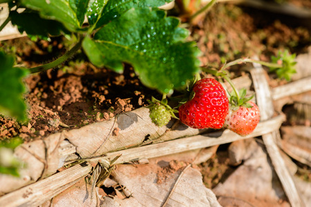 Closeup Rows of cultivation strawberries in a strawberry farm at doi angkhang mountain, chiangmai, thailand Stock Photo