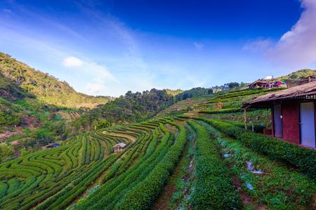 Landscape of  Tea plantation 2000 at Doi Ang Khang , Chaing Mai, Thailand Stock Photo