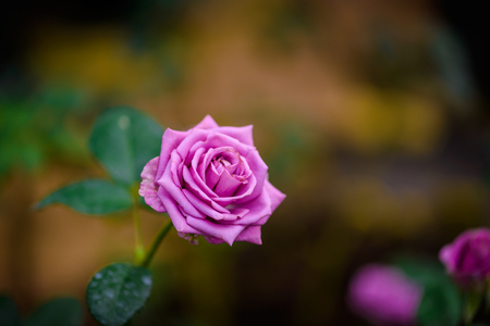 Closeup rose with buds in a romantic flower garden. Rose garden nursery with a plant sample