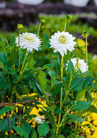 white Dahlia flowers in garden is full blooming