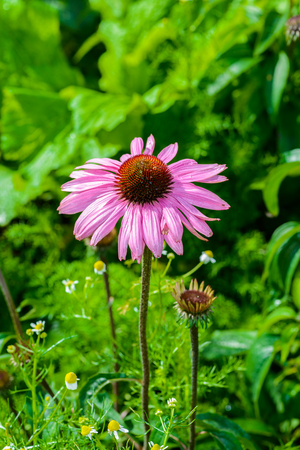 Purple coneflower (Echinacea purpurea) a popular plant for attracting the honey bee in Royal Agricultural Station Angkhang Chaing Mai, Thailand Stock Photo
