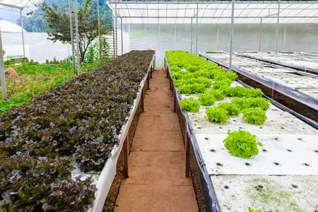 Hydroponic growing uses mineral nutrient solutions to feed the plants in water, without soil. Vegetables growing with Hydroponic Gardening System Greenhouse.