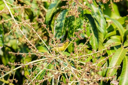 Brown-throated Sunbird or Plain-throated Sunbird, Olive backed sunbird (Yellow bellied sunbird) on a tree branch in nature