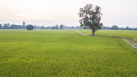 High angle view, the big tree, beside two paddy fields rual scene Thailand. Sunrise time