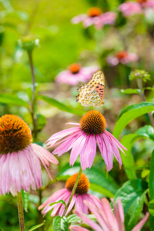 Butterfly on Purple coneflower (Echinacea purpurea) a popular plant for attracting the honey bee in Royal Agricultural Station Angkhang Chaing Mai, Thailand Stock Photo