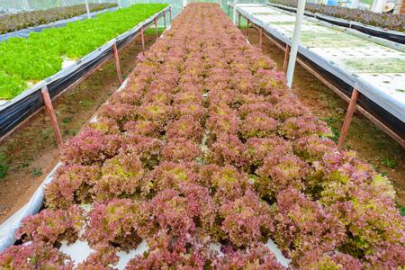 水耕栽培は、土壌なしで、水で植物を養うためにミネラル栄養溶液を使用しています。水耕栽培システム温室で育つ野菜。