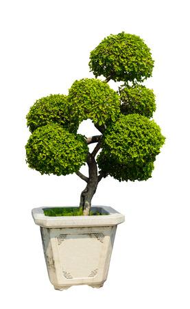 Bonsai tree, Dwarf tree in flowerpot isolated on white background