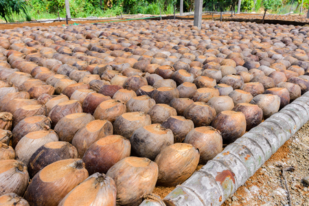 Group of Coconut Perfume is cutting head Arrange, Sort orderly preparations for such varieties for planting coconut trees, Layered bottom with coconut shell's hair, in the nursery farm Stockfoto