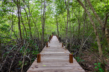 Wooden bridge or Walkway at Mangroves in Tung Prong Thong or Golden Mangrove Field at Estuary Pra Sae, Rayong, Thailand