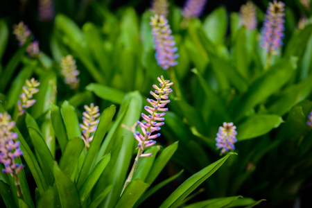 Flower of Aechmea Gamosepala, Bromeliad in the garden and the flower nick name is head of matches flower Stock Photo