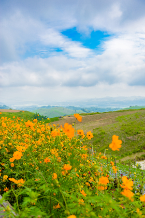 Cosmos flowers blooming in the garden with sunlight in morning landscape of mountain is background Фото со стока - 114892771
