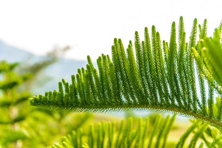 Closeup of Pine trees with morning sunlight 版權商用圖片 - 114892951