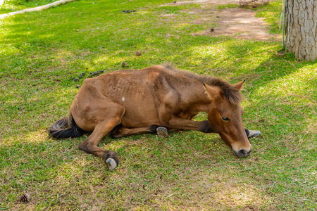 Brown horse with colic laying on side or sick and sleep on grass field Stock Photo