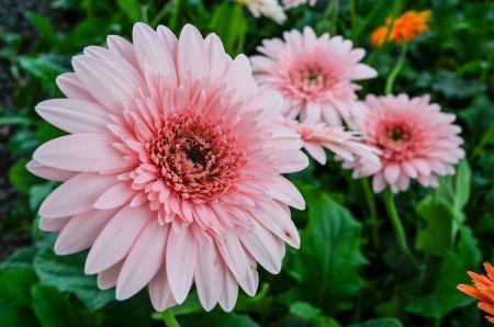 barberton daisy: Gerbera , Barberton daisy,flower pink