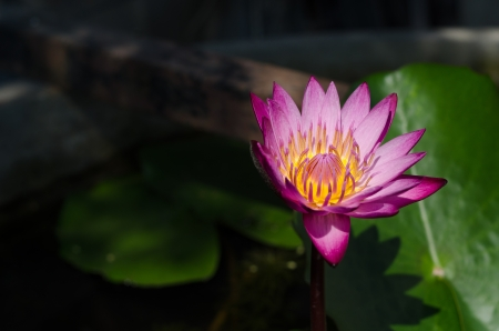 Lotus flower and Lotus flower Stock Photo - 17357265