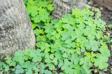 fortunateness: Three leaf clovers