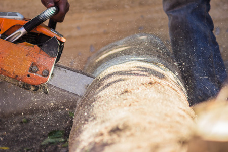 logger: Logger cutting wood with chainsaw to make firewood