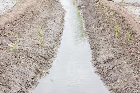 cours d eau: Riz sont en croissance et cours d'eau a r�affirm�