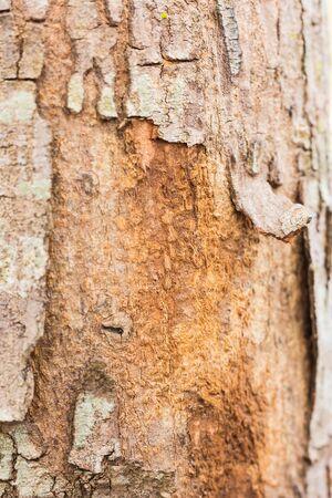 bark peeling from tree: Tree bark peeling.