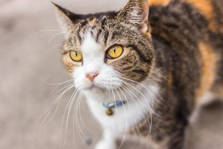 cat eye: smart look yellow-eyed cat lying