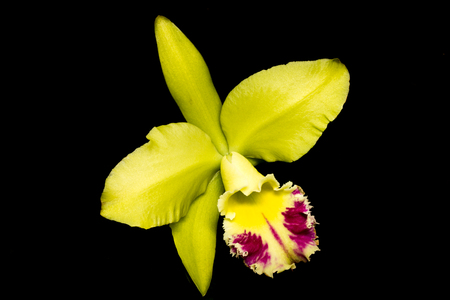 orchid isolated: orchid isolated on black