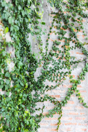 ivy hanging: Vine Branch, Vine leaves on wall background Stock Photo