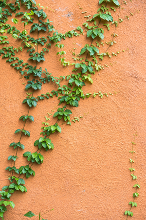 Climbing Ficus pumila on red wall