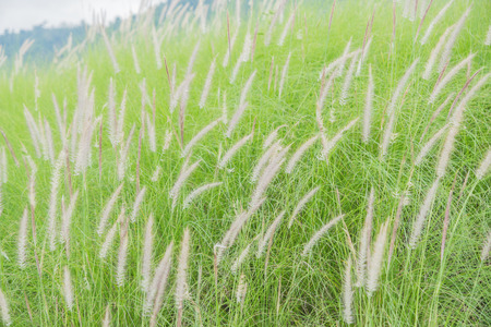 Flowering grass bending in the wind against the sky. Stock Photo