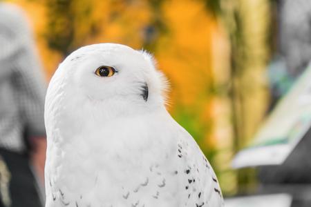 Close-up portret van de witte sneeuwuil met gele ogen.