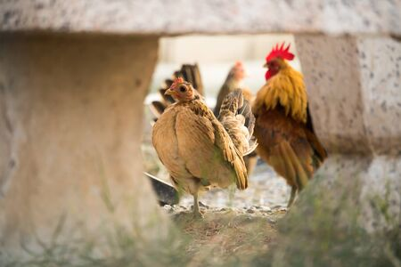 henhouse: Chickens was finding for food outside hen-house. Stock Photo