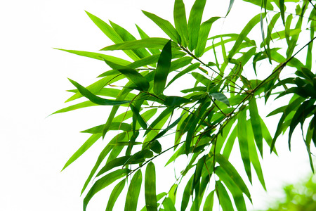 Beautiful green bamboo leaves isolated on white background in summer season. It use for artworks,  postcard, wallpaper. 写真素材