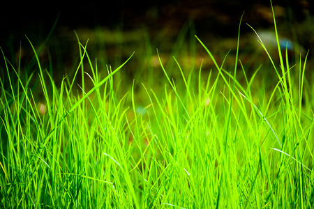 Grass field on morning light, long grass on the ground at backyard or front yard. 写真素材