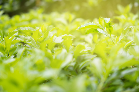 green leaves of bush under the sunlight of morning in summer. green bush is outdoor plant to use for garden decoration 写真素材