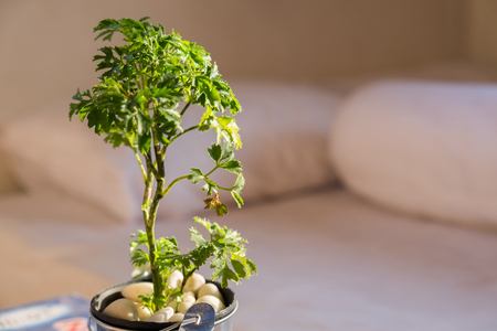 A little tree in the aluminum pot growth under the sunlight in the morning nearby the bed in the bedroom. It's used to decorate for relaxation feeling