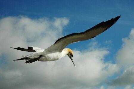 Beautiful yellow head bird flying in blue sky 版權商用圖片