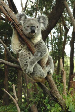 Australian koala sitting on a tree and looking straight.