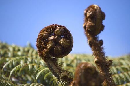 silver fern: Koru - new leaf of silver fern, NZ native plant. New Zealandtion national symbol. Stock Photo