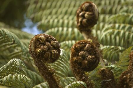 nz: Koru - new leaves of silver fern, NZ native plant. New Zealand national symbol. Stock Photo
