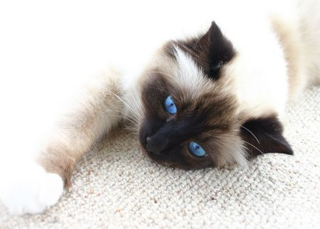 Lazy burman cat with blue eyes resting on the carpet. White background. photo
