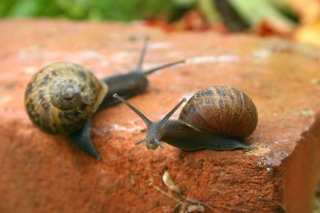 Two slow snails moving their homes along a brick. photo