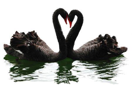 Black swans heart. Isolated over white. Valentine series. 版權商用圖片