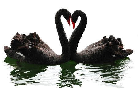 Black swans heart. Isolated over white. Valentine series. photo