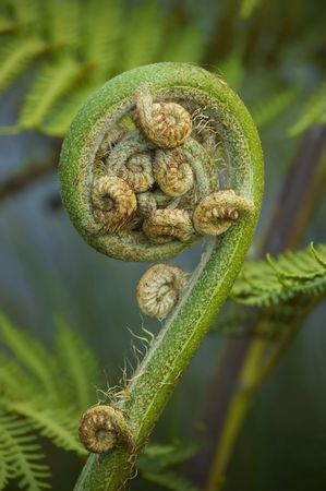 fern: Koru - new leaf of New Zealand silver fern. Spring concept. Close-up Stock Photo