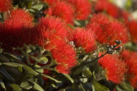 Red blossoming flowers of pohutukawa, New Zealand  tree.